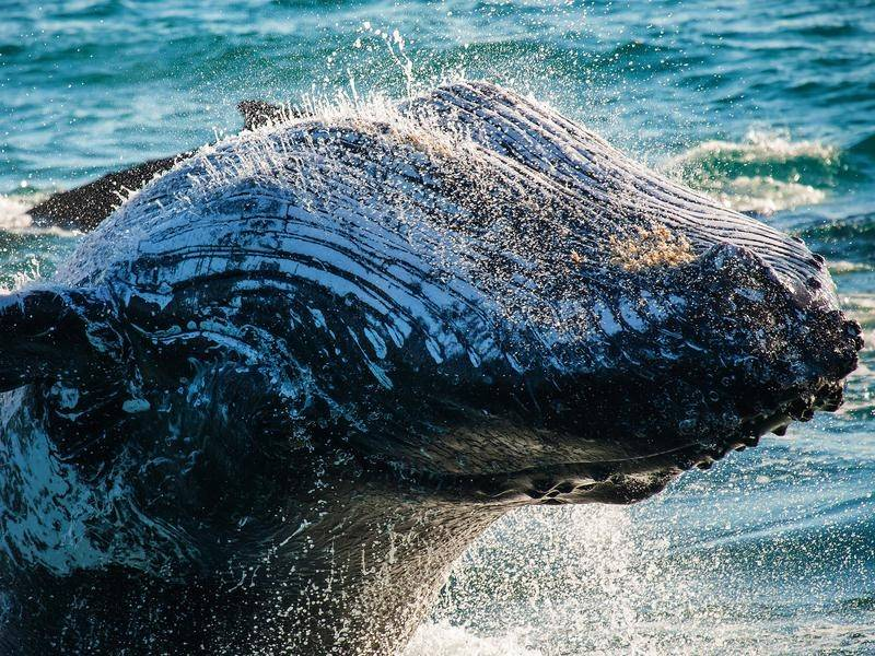 Tens of thousands of whales are expected to start their annual migration along Australia's coast.